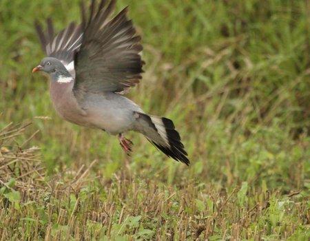 Oproep tot beheer van verwilderde duiven