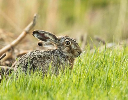 RHD2-virus bij konijnen