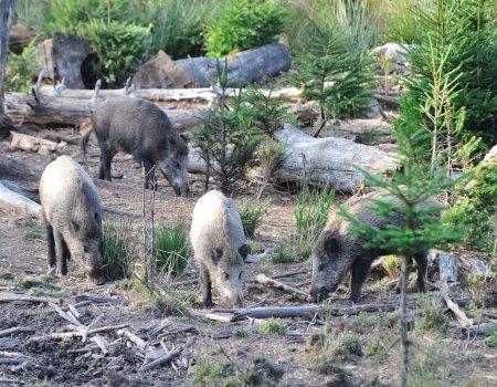 Oproep tot waakzaamheid voor Afrikaanse varkenspest