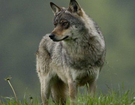 Loos alarm – wolf doodgereden, niet geschoten.