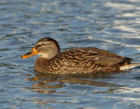 Botulisme verlamt waterwild: zorg voor stromend water in vijvers