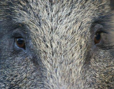 Feit of fictie? Drie onduidelijkheden over Afrikaanse varkenspest