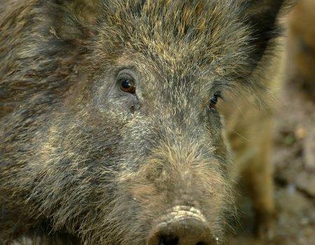 Update Afrikaanse varkenspest: totaalverbod op jacht geen goed idee
