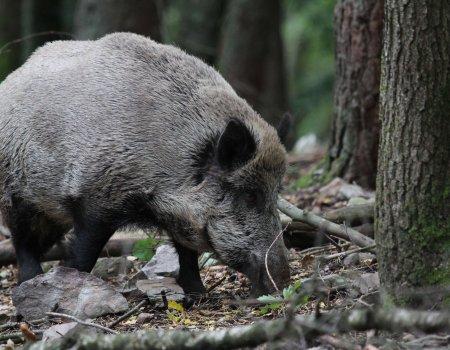Jagers verplicht om drie collectieve jachten op everzwijn te organiseren