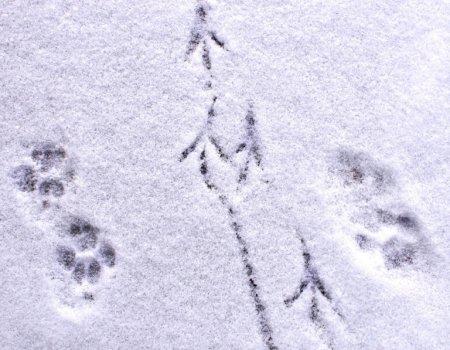 Sneeuwregel bij jacht