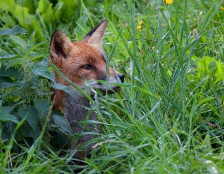 Standpunt: 'Klemmen gebruiken voor vossen? Kan niet'