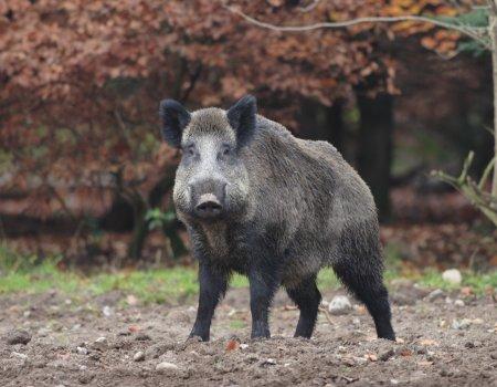Interview: 'Nog veel geschikt leefgebied voor everzwijn in Vlaanderen'