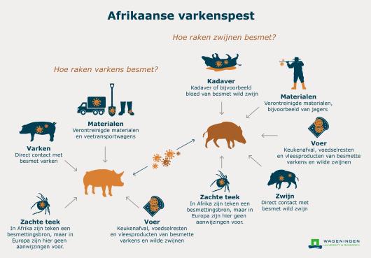 Update varkenspest: Waalse overheid streeft naar nulstand