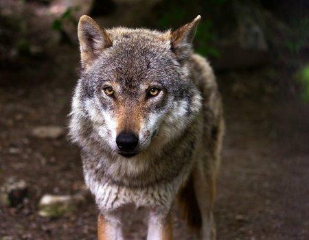 Feit of fictie? 17 vragen over de wolf in Vlaanderen
