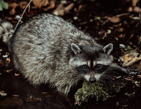Bestrijding invasieve exoten: 'Belangrijke rol weggelegd voor jagers'