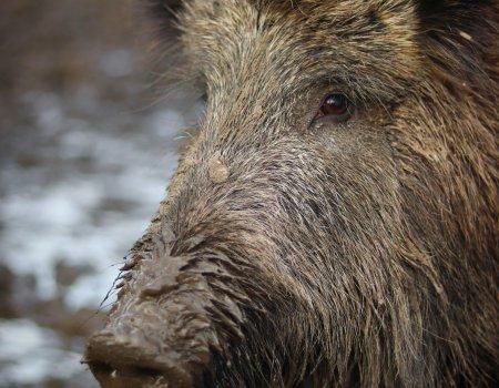 Everzwijn: in steeds meer gemeenten afschot gerealiseerd