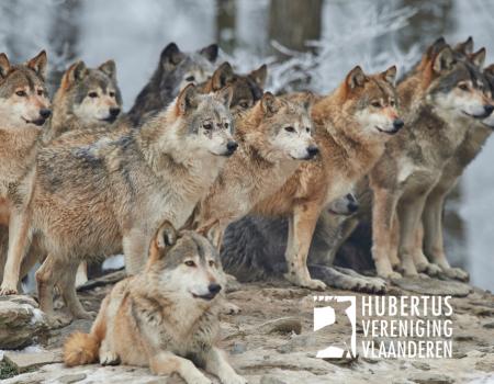Factcheck: maakt de wolf de jacht op everzwijn overbodig in Vlaanderen?