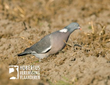 Weidelijkheid: Hoe stevig mag ik tekeer gaan tijdens het bestrijden van duiven?