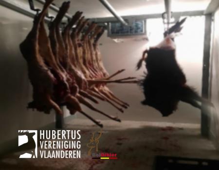 Wildverwerkingsbedrijf Belgibier vestigt in samenwerking met HVV een ophaalpunt voor everzwijnen in Lummen