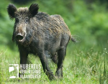 FAVV: 'Blijf oppassen voor het importeren van de Afrikaanse varkenspest'